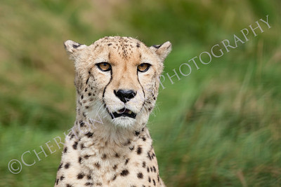 Head Shot Portrait of Beautiful Cheetah