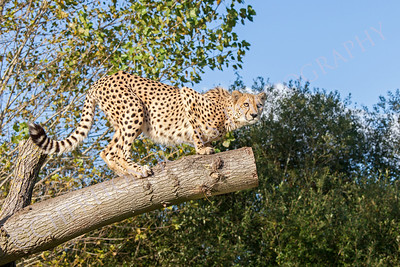 Cheetah Crouching on a Tree Branch