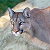 Head Shot of Beautiful Puma in Afternoon Sun