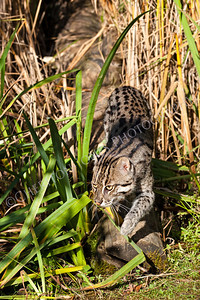 Fishing Cat Sneaking through Long Grass
