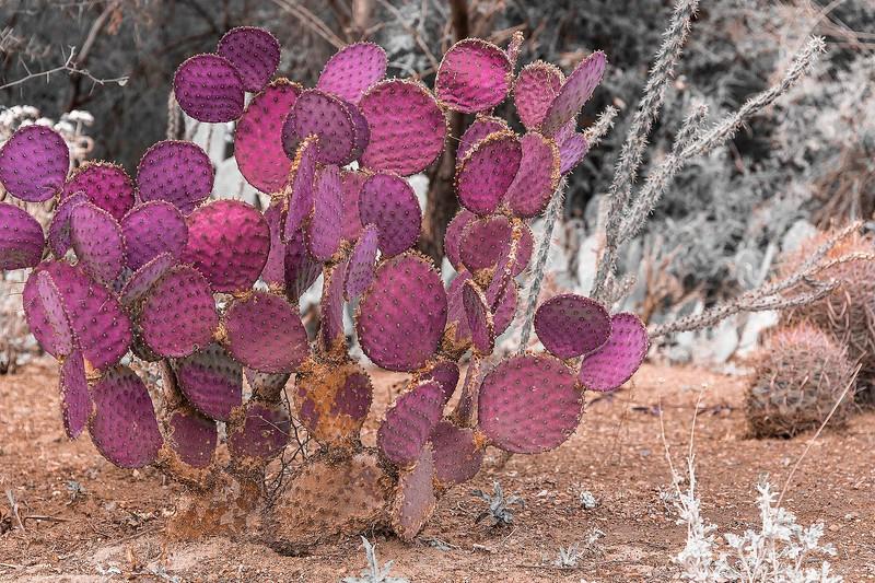 2 - Prickly Pear Cactus, Boyce Thompson Arboretum, Arizona