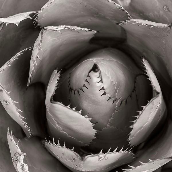 Agave leaves, Desert Museum, outside Tucson, Arizona