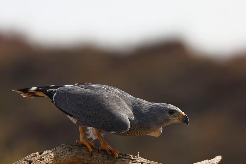 2 - Gray Hawk, Desert Museum, Tucson, Arizona