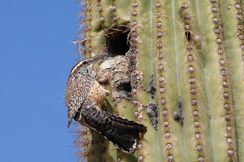 2 - Cactus Wren and its home in a Saguaro, near Tucson, Arizona