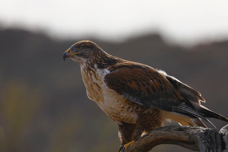 2 - Ferruginous Hawk, Desert Museum, near Tucson, Arizona