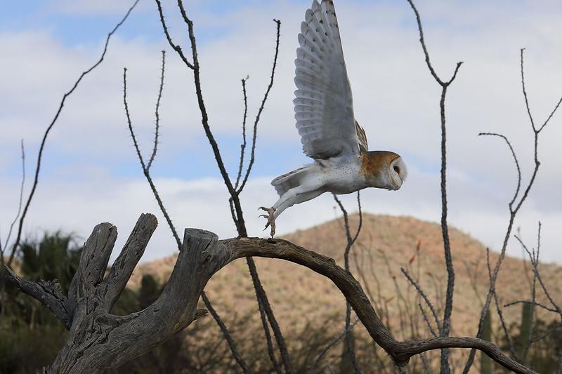 2 - Heading for more food, Barn Owl, Desert Museum, Tucson, Arizona