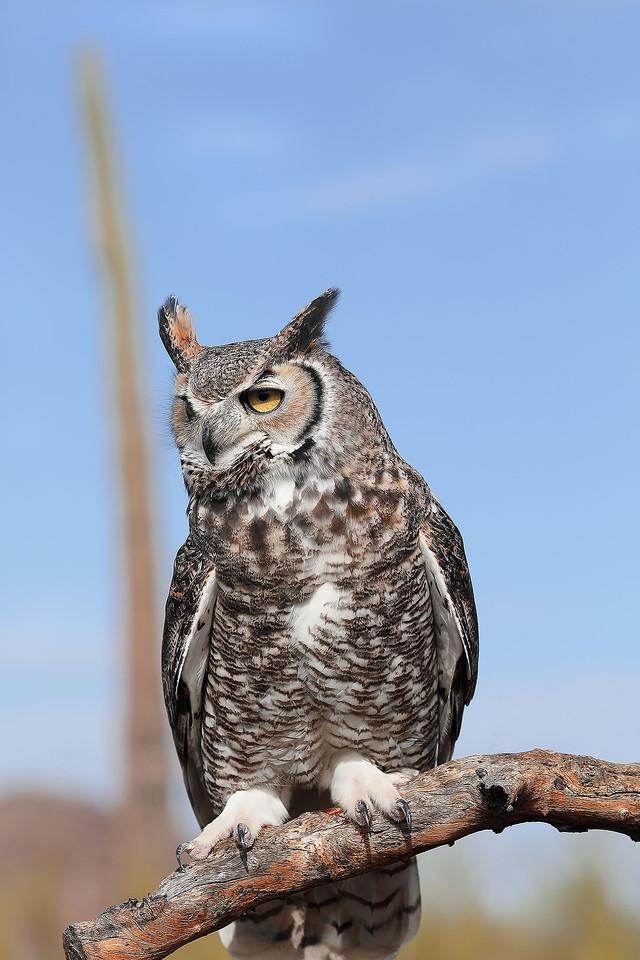 Horned Owl, Desert Museum, near Tucson, Arizona