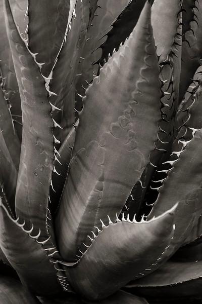 2 - Agave Detail, Desert Museum, near Tucson, Arizona