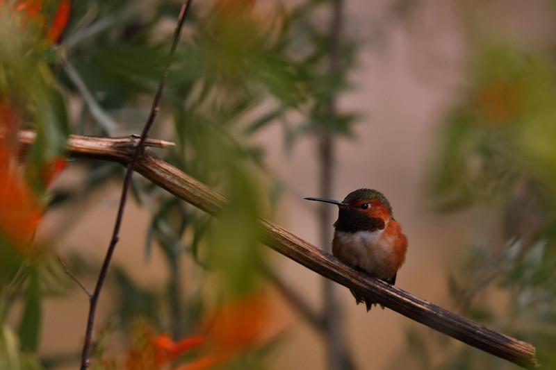 2 - Costa's Hummingbird, Desert Museum, Tucson, Arizona