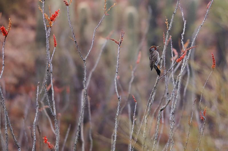 2 - Northern Flicker on Ocotillo, Saguaro National Park, Arizona