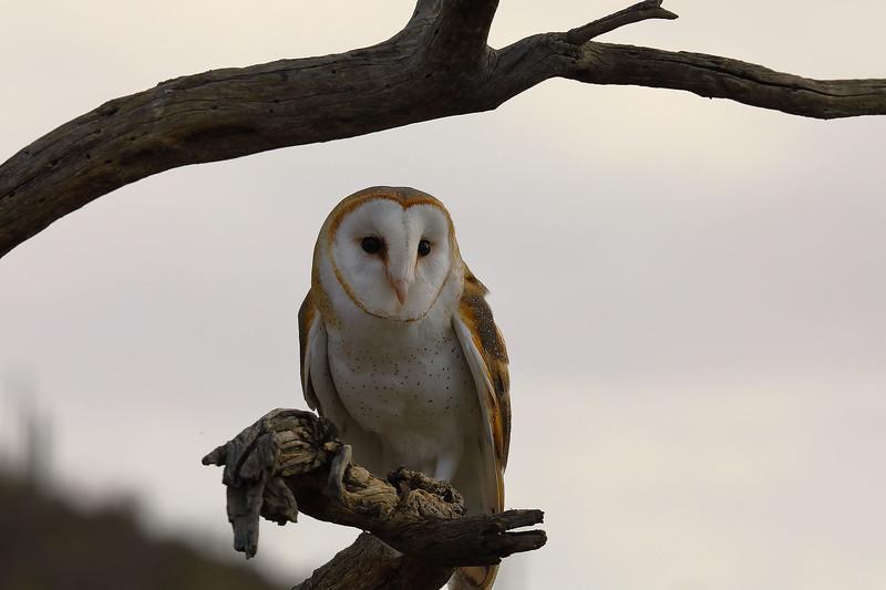 Barn Owl, Desert Museum