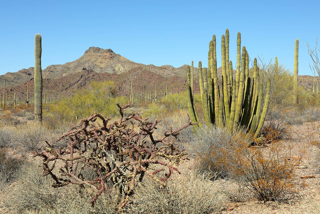 Organ Pipe Cactus, Organ Pipe Cactus National Monument, Arizona