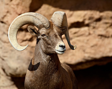 This is a captive bighorn sheep (Ovis canadensis) taken at the Arizona-Sonora Desert Museum in Tucson.