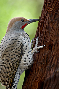 This is a captive gilded flicker (Colaptes chrysoides) taken at the Arizona-Sonora Desert Museum in Tucson.