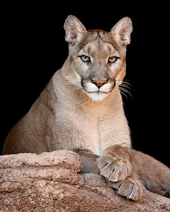 """Sitting Like a Lady""  This is a captive cougar (Felis concolor) taken at the Arizona-Sonora Desert Museum in Tucson.  This image is sized for printing ideally at 8 x 10"" or smaller."