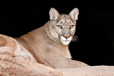 This is a captive cougar (Felis concolor) taken at the Arizona-Sonora Desert Museum in Tucson.