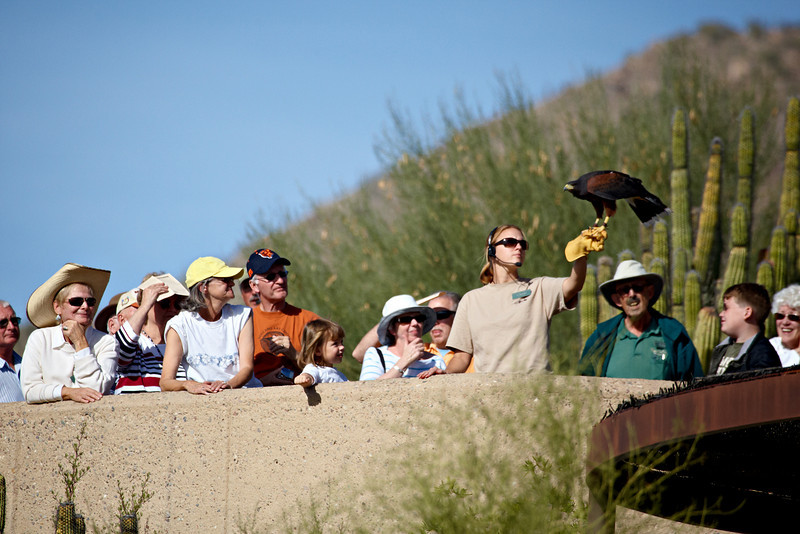 """Enthralled""<br /> <br /> The crowd was quite enthralled at the flight demonstration. This is a captive Harris's hawk (Parabuteo unicinctus), taken at the Arizona-Sonora Desert Museum in Tucson."