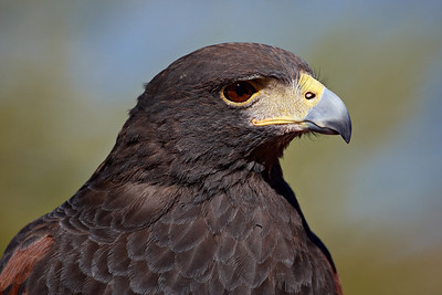 This is a captive Harris's hawk (Parabuteo unicinctus), taken at the Arizona-Sonora Desert Museum in Tucson.