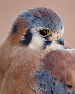 """Kestrel On Adobe""  The museum docents brought out this male kestrel on each of several days. On this day I was glad to be able to photograph the bird in the very even shade of a tree. I thought the colors of the kestrel worked well with the adobe wall, which served as the background.  Arizona-Sonora Desert Museum, near Tucson, Arizona."