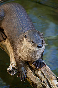 This is a river otter (Lontra canadensi) taken at the Arizona-Sonora Desert Museum in Tucson.