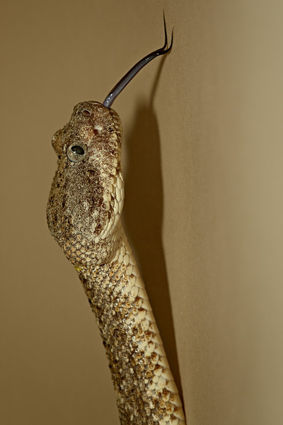 This is a captive speckled rattlesnake (Crotalus mitchellii)  taken at the Arizona-Sonora Desert Museum in Tucson.