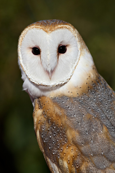 This is a captive barn owl (Tyto alba) taken at the Arizona-Sonora Desert Museum in Tucson.