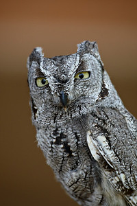 This is a captive western screech owl (Megascops kennicottii) taken at the Arizona-Sonora Desert Museum in Tucson.