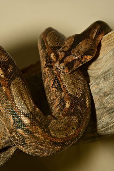 This is a captive Mexican boa (Boa constrictor imperator)  taken at the Arizona-Sonora Desert Museum in Tucson.