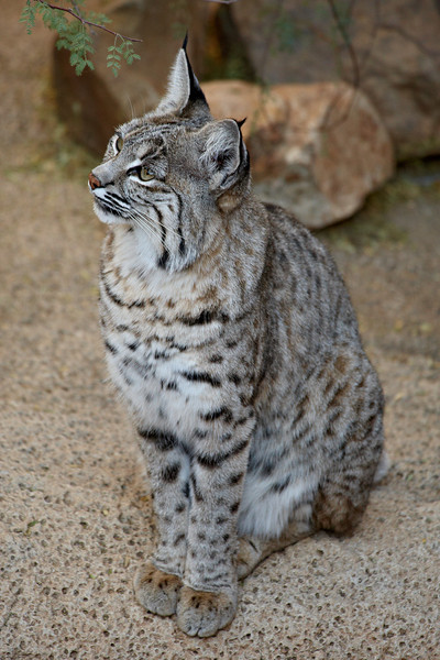 This is a captive bobcat (Lynx rufus) taken at the Arizona-Sonora Desert Museum in Tucson.