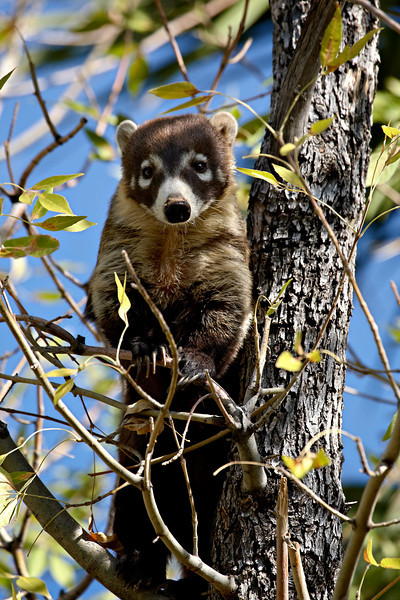 This is a captive white-nosed coatimundi, or coati, (Nasua narica) taken at the Arizona-Sonora Desert Museum in Tucson.