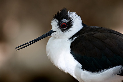 This is a captive stilt taken at the Arizona-Sonora Desert Museum in Tucson.