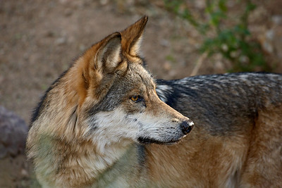 This is a captive Mexican wolf (Canis lupus baileyi)  taken at the Arizona-Sonora Desert Museum in Tucson.