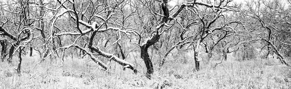 """""""Twisted Sisters""""<br /> <br /> A freak snowstorm coats the trees in the Coronado National Forest near Patagonia, Arizona, USA. This is a panoramic of three images stitched together in Photoshop. To get the full effect of this photo, please view the larger version."""