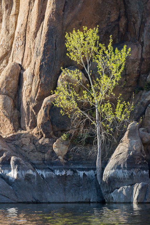An unidentified tree growing at water's edge, right out of the granite rock. Taken from the kayak at Watson Lake, Prescott, Arizona, USA.