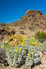 Brittlebush (Encelia farinosa), a desert wildflower, blooms in front of the rock formations. Taken in Craggy Wash, Arizona, USA.