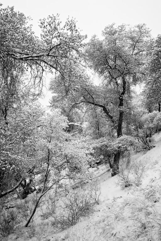 A snowstorm coats the trees in the Coronado National Forest near Patagonia, Arizona, USA.