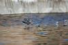 "An American coot (Fulica americana) ""dances"" on the water as it begins to take flight. Taken from the kayak at Watson Lake, Prescott, Arizona, USA."