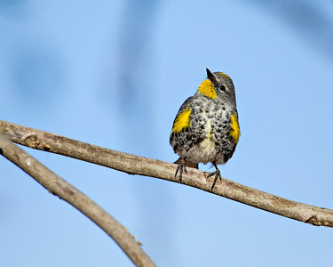 """Yellow-Rumped"""