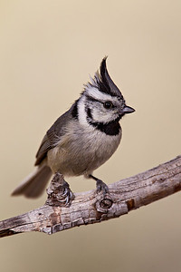 """Cute Little Titmouse"""