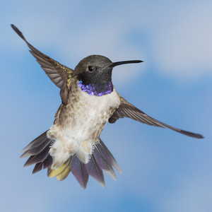 """Hummingbird on Sky""  I decided to use a sky background, printed on 20 x 30"" semi-gloss. Here is one of that series, a male black-chinned hummingbird (Archilochus alexandri). Taken in the Coronado National Forest, Arizona, USA."