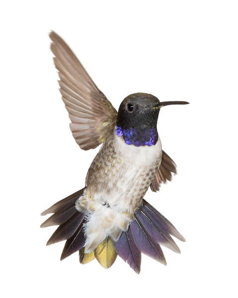 """Hi, Everybody! (The Waving Hummingbird)""<br /> <br /> A Day With a Hummingbird Photographer<br /> <br /> Make sugar water solution (4 parts boiled water and 1 part sugar). No red food coloring. Wait for sugar water to cool down. Fill up a hummingbird feeder and put it outside the RV. Only see an occasional hummingbird for more than one week. One morning, wake up and see black-chinned and magnificent hummingbirds coming in to the hummingbird feeder. Decide that this is the day to set up to photograph them. Eat a quick breakfast and start to gather together all the equipment needed. Deploy the awning on the RV, so that there is shade on the setup. This is because direct sunlight is a Very Bad Thing, in that it would result in too much ambient light and causes ghosting of the wings. Notice that the wind is picking up and hope that it will die down. Set up the background (white foamcore, 20"" x 30"") on a camp chair. (I want a pure white background for this series.) Secure it with clamps, some of which have gone missing. Make do with two clamps rather than four. Root through RV compartments, removing a bunch of stuff to find the REI roll-up camp table. Assemble table, trying to remember how to do so. After several false starts, get table all set up. Secure the flashes to the table (five flashes, 1 of which will light up the background and four aimed at various angles to light up the spot where a potential hummingbird would be). Each flash sits atop a Jianisi PT-04TM wireless receiver, which is set off by a Jianisi transmitter on top of the camera, in the flash shoe. Each Sunpak 383 flash is set to 1/16th power. Move the big hummingbird feeder indoors and set out a smaller, hanging hummingbird feeder with only one ""port"" so that the hummingbirds will come only to that feeder and only to that one port. Aim the port slightly backwards toward the background. This is so the hummingbirds will back off from the feeder in such a way that they face the camera and their gorgets will be showing. Notice that the feeder wants to rotate around and not stay in the desired position. Try to find some chain bought for the purpose of twisting around itself to make hummingbird feeder stay in place. Can't find it. Ask significant other if he has the chain. Wait while he roots around to try and find it and can't. Go back outside and put gaffer tape on the string holding the hummingbird feeder, to keep it from twisting around. Significant other finds the chain and brings it outside. Remove gaffer tape and string. Install the chain and feeder still twists around. Use more gaffer tape to secure it. Test all the flashes and replace AA batteries (4 per flash) that aren't working. Go inside RV and remove a bunch of stuff from cabinets and find batteries. Go back outside. Test wireless receivers; some aren't working. Go inside to find AAA batteries (two per receiver). Go outside. Notice that the transmitter doesn't set off the receivers. Go inside and root around in drawers to find the teeny, tiny screwdriver needed to open up the transmitter. Replace battery (very obscure battery model 23A needed, so root around in battery supply to find it; whew, it's there!). Go outside. Notice that one receiver doesn't work at all even with fresh batteries and put it aside, replacing it with one that does work. Set up the camera (Canon EOS 5D Mark III) on a tripod. The camera is set to full manual at 1/160th second, f/20, ISO 400 (this can vary depending on light levels and other factors). Futz around with extension tubes in various combinations. Move the camera, tripod and chair to various positions to get everything at the right distance to focus. End up deciding to use the two largest extension tubes (32mm and 20mm) in combination. Get startled as the wind gusts and completely blows over the other chair holding the background, and knocks it into the table, also knocking over the hummingbird feeder, which spews sugar water all over the table and background. Take the background inside the RV and wash it off and also wash off the table so that ants, other insects, and BEARS (yes, there are lots of them around here) don't discover the sugar water. Go outside. Set the background back up on the chair, clamp it in place, and this time anchor the chair with big rocks. Replace the feeder. Sit back down and wait for the hummingbirds. Take a picture of a skittish hummingbird that wants to hide behind the feeder and takes off very quickly. That one is my nemesis. Wait for more hummingbirds to come in. Notice that the awning is flapping very loudly in the wind and slapping back down on its support, scaring away the hummingbirds. Get startled again when one of the awning supports gets uplifted by the wind and crashes to the ground. Rectify that and make sure the awning support is anchored better in its bracket. Sit down and wait for the hummingbirds to come in. Notice that the sun has now moved and that the setup will soon not be in shade. Very Bad Thing. Move the whole setup (background with its chair, table, camera, tripod, and my chair). Notice that the back of my neck is getting a lot of sun, so go inside to put on sunscreen. Go outside. Sit down again and wait for hummingbirds. Take a shot or two in between massive flaps of the awning. Get hungry and go inside to fix lunch. Go back out and sit and wait for hummingbirds. Get bored and put on earphones so I can listen to podcasts and music on my iPhone. Wait for hummingbirds. Get bored and go in and get Kindle so I can read a book while waiting. Look up from my reading to notice that a hummingbird is just LEAVING the feeder, the little sneak. Put down Kindle and pay more attention to feeder, just in case a hummingbird comes in. Wait some more. Notice that the sun is now shining right THROUGH the background and causing a stripe where the chair back holds it up. Go in and get another piece of foamcore to set behind the first piece and re-clamp everything. Notice that the sun is going to be hitting the feeder soon (remember, that is a Very Bad Thing), so move the whole setup the opposite direction. Notice that hummingbirds seem to be very confused and not understand where they are supposed to find the now-moved feeder. Wait for them to come back. Take a few pictures of hummingbirds that successfully come in to the feeder. Some have bad wing positions (covering up their eyes, for instance), or have a wing behind the feeder, or have their tail cut off because I'm not as fast as a hummingbird. Vow to get something good out of this day, so keep trying. Notice that the sun has dipped down far enough that my face is now getting too much exposure, so go inside to put on more sunscreen. Come back out and wait for hummingbirds. Take a few more photos of hummingbirds. One male black-chinned actually sticks around a while and makes several passes at the feeder, backing off at just the right distance each time. Good boy, good boy!!! (Hummingbirds tend to go in to feed, then back off from the feeder and hover for a while. Each bird seems to have a different set-back distance and position preference, and it's often repeatable, which sure is nice when that happens.) Notice that a few magnificent hummingbirds are coming in but don't stick around long enough for photos. Dang, sure would like to get some photos of that species today. Notice that two male black-chinned hummingbirds are trying to come in at the same time, which WOULD have made for nice photos except that instead they chase each other off any time one gets anywhere near the feeder. Little jerks, errr dears. Notice that the sun is going down behind the mountain. Time to break down the setup and put everything away. Put camera and tripod away, backgrounds back in the RV, etc. Cover flashes with plastic bags secured with rubber bands. Clean up mess inside from disassembling transmitters and battery fiasco. Cook dinner. Download a grand total of 21 hummingbird photos and sort through them. There are a few good ones! I am not making this up. Time to get some sleep so that the whole process can be repeated all over again tomorrow.<br /> <br /> (This is a male black-chinned hummingbird (Archilochus alexandri). Taken in the Coronado National Forest, Arizona, USA. Masking done in Photoshop to make the background a pure white.)"