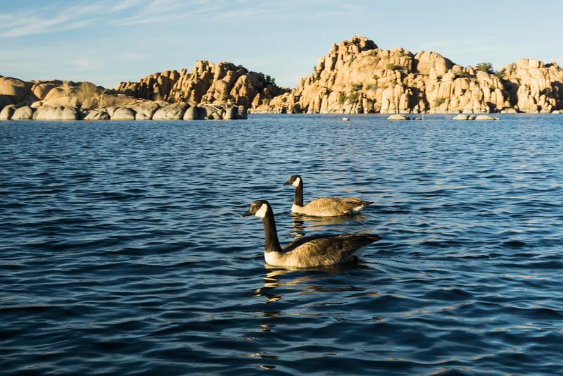 Canada geese (Branta canadensis), swim near my kayak. Taken from the kayak on Watson Lake, Prescott, Arizona, USA.