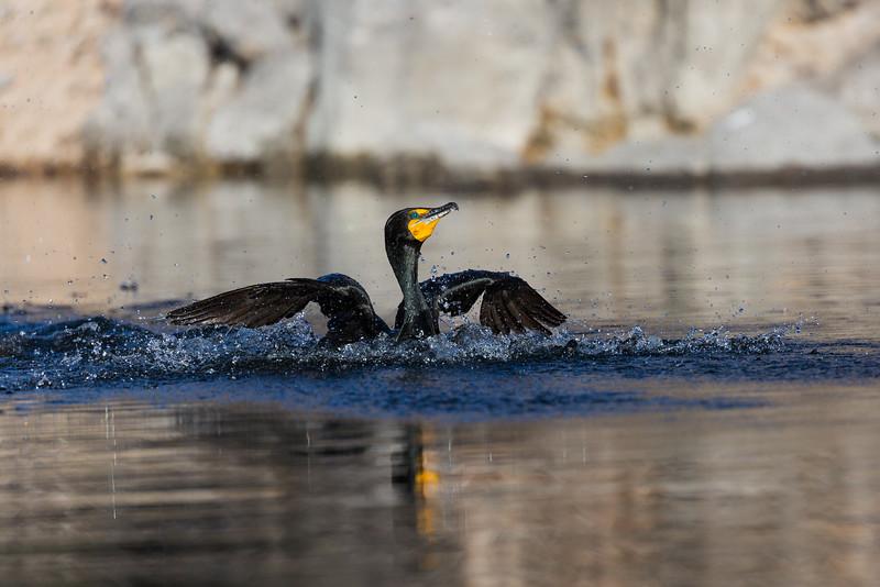 """""""Cormorant Splashing"""""""
