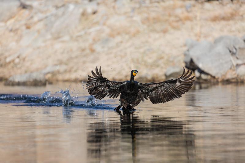 A double-crested cormorant (Phalacrocorax auritus). Taken from the kayak on Watson Lake, Prescott, Arizona, USA.