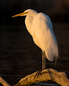 """Great Egret in Last Light"""