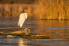 A great egret (Ardea alba) perches on a fallen tree at sunset. Taken from my kayak at the Bill Williams River National Wildlife Refuge, Arizona, USA.