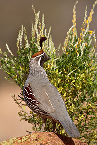 """Gambel's Quail""  A Gambel's quail (Callipepla gambelii) at the Bill Forbes Ranch, Amado, Arizona, USA."