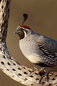 """Male Gambel's Quail""  A Gambel's quail (Callipepla gambelii) at the Bill Forbes Ranch, Amado, Arizona, USA."