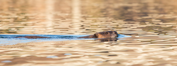 """Swimming In Golden Light""  I have really got to get a kayak. All I want is a used one, nothing fancy. Here is a photo that I took during my first kayaking experience in March, 2014. It's a North American beaver (Castor canadensis), swimming. Taken in the Bill Williams River National Wildlife Refuge near Lake Havasu City, Arizona, USA."