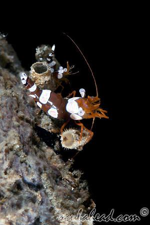 Squat Shrimp (Thor amboinensis)